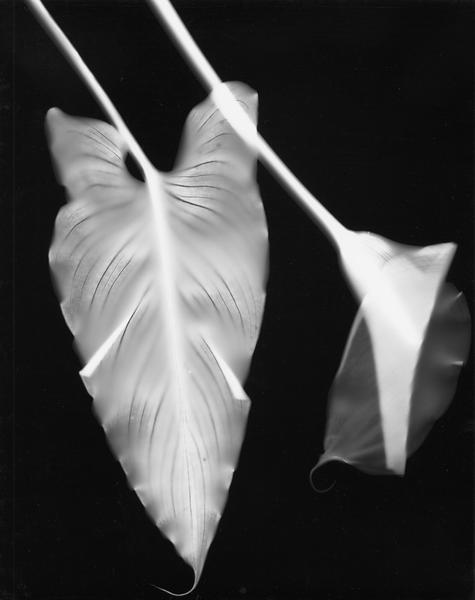 Calla Lily, 1998