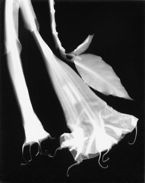 Datura Flower, 1998
