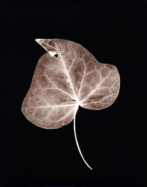 Ivy Leaf (hearts)
