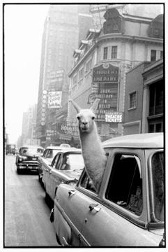A Llama in Time Square, New York, 1957.