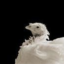 Ash, Domestic White Turkey, Age 8 II