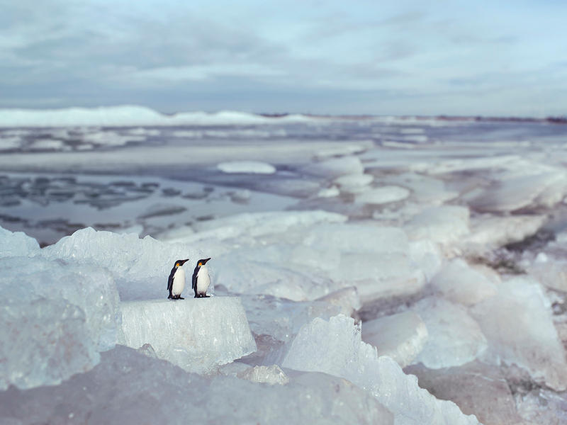 Emperor Penguins, Hindeloopen Holland
