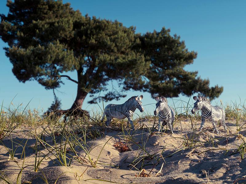 Grevys Zebras Soest Holland