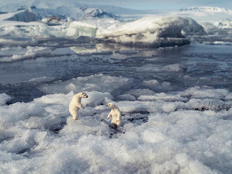 Polar Bears, Jokulsarlon Iceland