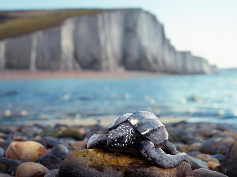 Leatherback Turtle, Seven Sisters England