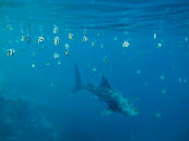 Whaleshark, Filitheyo Maldives