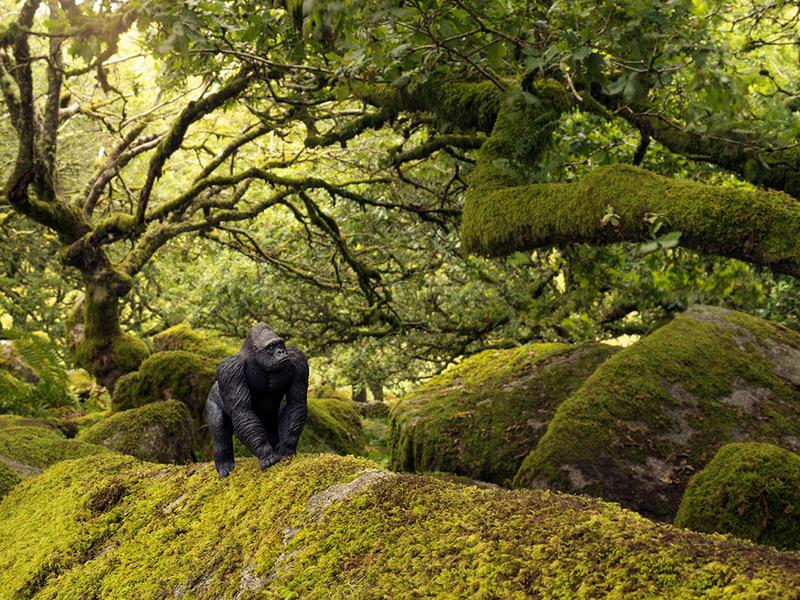 Gorilla, Wistmans Wood England