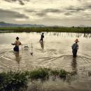 Rice Fields, Mandalay Hill, Myanmar