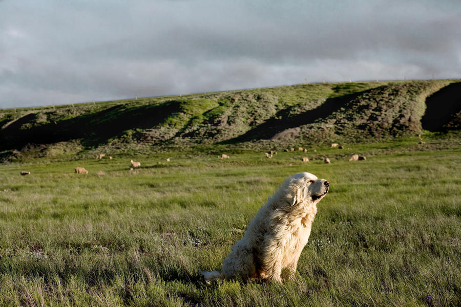 Champ  9 years old  Butte County,South Dakota