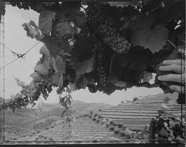 Looking at Grapes Used for Port Wine, Douro River, 1995