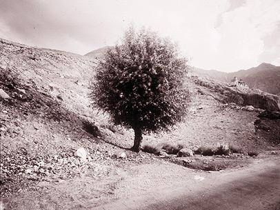 Tree, Nubra, Ladakh, India, 1998