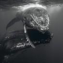 Humpback Whale Mother and Calf III, 2006