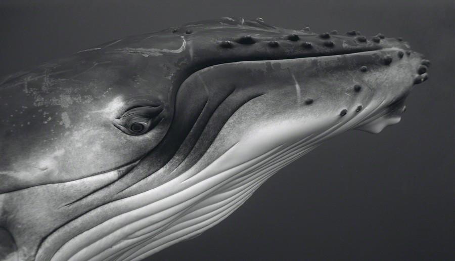 Humpback Whale Calf I, 2006