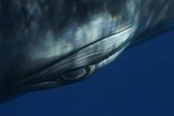 Minke Whale Portrait 1294 (Detail), 2009