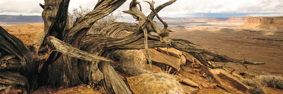 Juniper Stump, Grandview Point