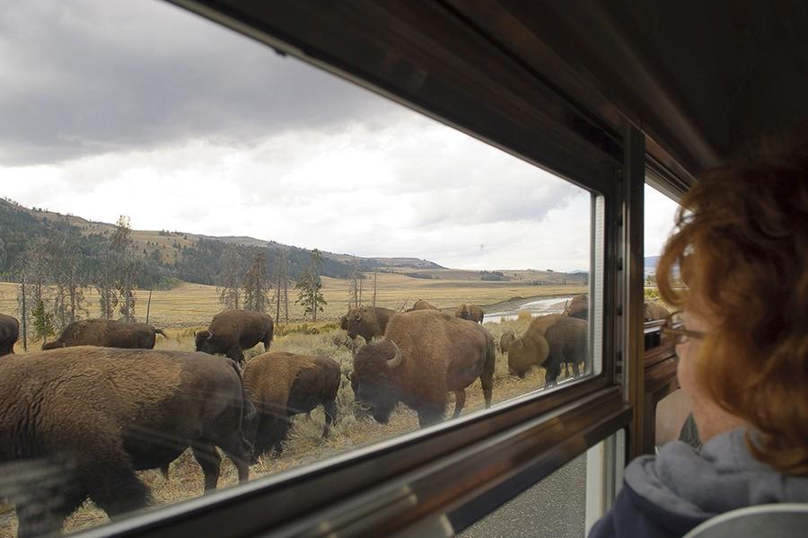 Lamar Valley Buffalo Along the Road